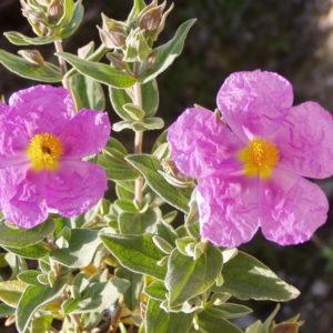 Zistrose (cistus incanus) – Verlässlicher pflanzlicher Helfer in der Erkältungszeit