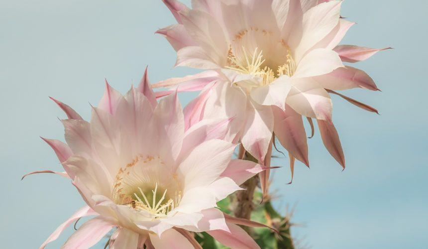 Die Königin der Nacht – ein besonderes Kaktusgewächs