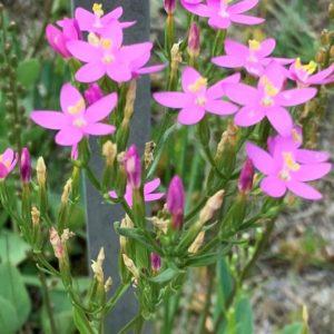 Blüten des Tausendgüldenkrauts